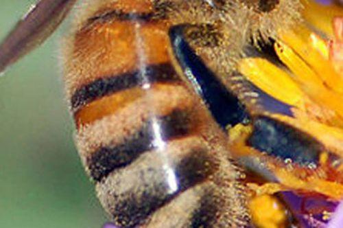 o abeille corbeille.jpg