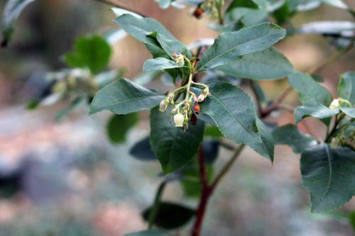 arbutus x andrachnoides 003.jpg
