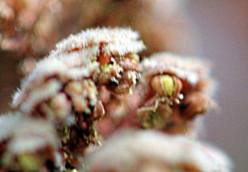 corylus purp pollen romi 20 avril 2012 p124.jpg