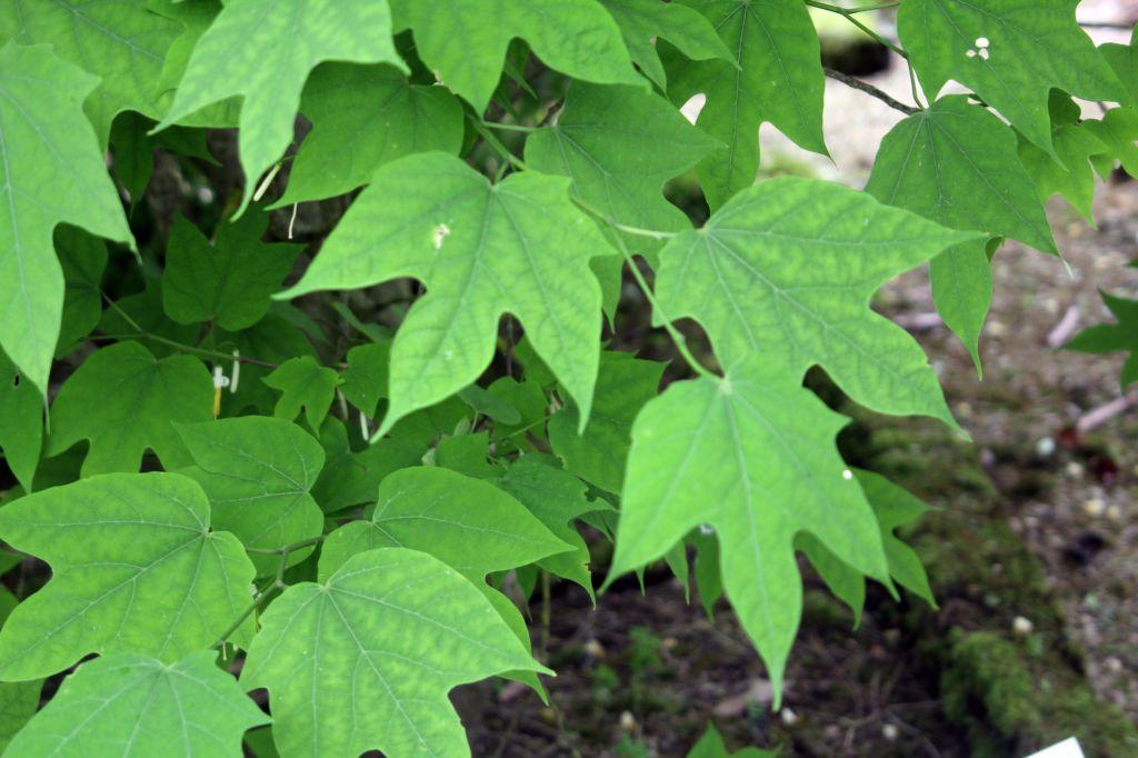 Alangium platanifolium sureaux - Mot de la meme famille que fleur ...