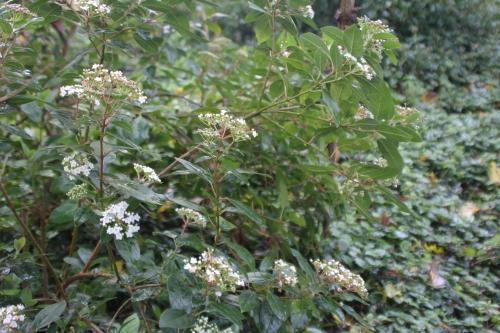 5 viburnum tinus veneux 12 nov 2017 018.jpg