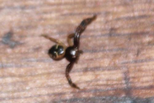 10 araignée cydonia krymsk veneux 11 sept 2017 011.jpg
