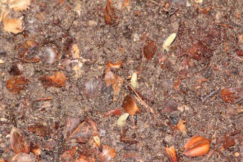 galanthus elwesii 002.jpg