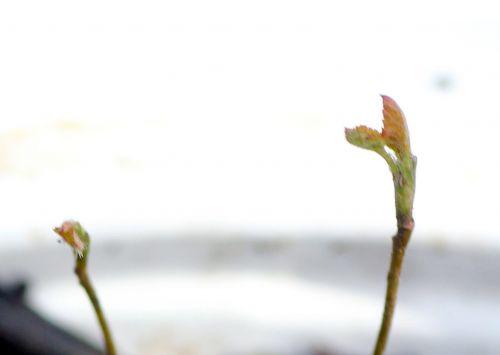 2 amelanchier alnifolia 9 mars 2013 025.jpg