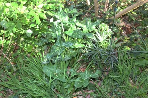 10 arum italicum veneux 20 avril 2017 013 (2).jpg