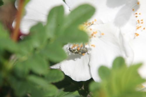 8 rosa pteracantha romi 11 mai 2015 005.jpg
