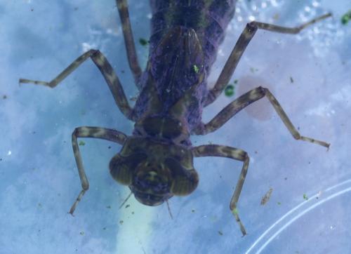 2 larve anax veneux 16 fev 2011 016.jpg