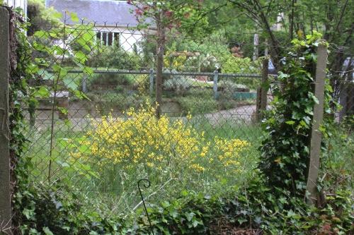 4 cytisus scoparius veneux 8 mai 2015 002 (1).jpg