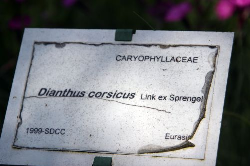6 dianthus corsicus marnay 1 juin 2013 038.jpg
