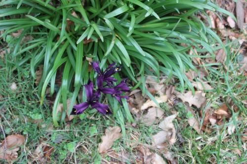 7 iris veneux 23 fev 2017 008.jpg