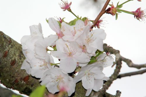 prunus yedoensis 3 gb 9 avril 2012 029.jpg