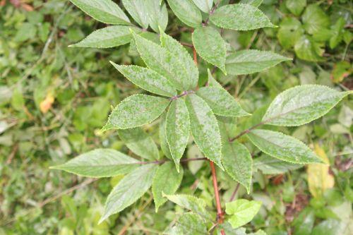 sibirica feuille tige13 juil 069.jpg