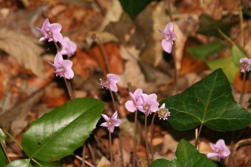 1 cyclamen hederifolium 18 sept 002.jpg