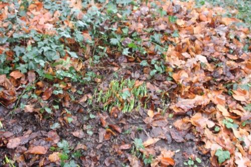 2 galanthus elwesii veneux 10 dec 2017 013 (2).jpg