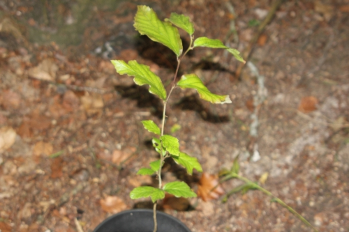 2 parrotia persica 10 juin 2012 002 (1).jpg