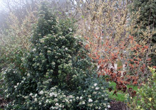 6 viburnum tinus paris 12 janv 2013 098.jpg