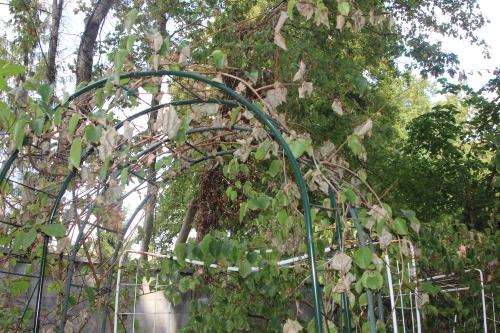 1 actinidia melanandra veneux 31 août 2016 003 (1).jpg