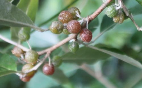 elaeagnus multiflora rec romi 11 oct 2015 057.jpg