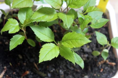 malus hupe semis 29 avril 2012 009.jpg