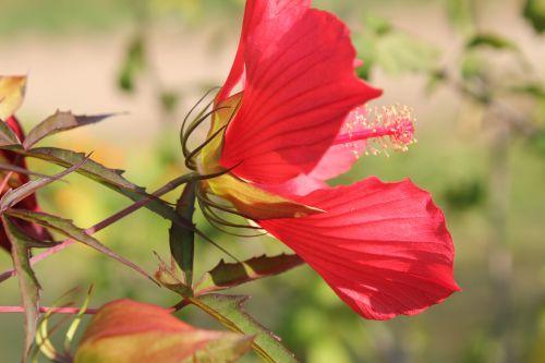 hibiscus coccineus calicule 1 paris 24 sept 2011 093.jpg