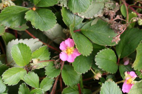 fragaria vesca fleur rose Le Coudray .jpg
