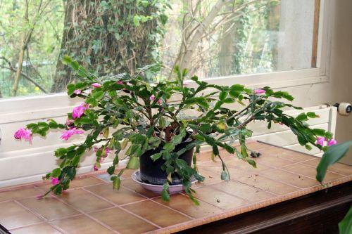 schlumbergera veneux 14 avril 2010.jpg