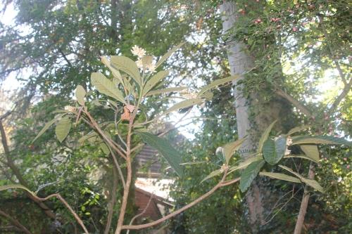 8 eriobotrya oliver veneux 14 oct 2017 006 (1).jpg