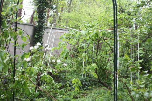 actinidia melanandra veneux 1 mai 2015 014 (5).jpg