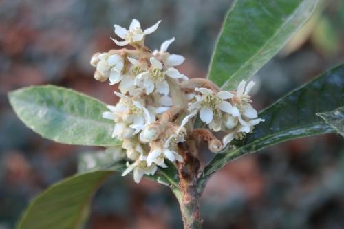 eriobotrya oliver veneux 12 nov 2015 007 (1).jpg