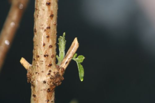 palmensis veneux 28 déc 2010 004.jpg