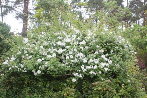 27 rosa helenae gb 14 juin 2015 123 (1).jpg