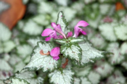 lamium maculatum paris 1 dec 2013 073 (3).jpg