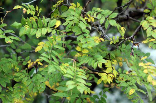 rosa roxburghii 4 gb 6 oct 2012 020 (1).jpg