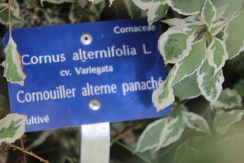 3 cornus alternifolia var 10 août 2013 118.jpg