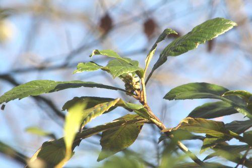 eriobotrya veneux 28 déc 2012 002.jpg