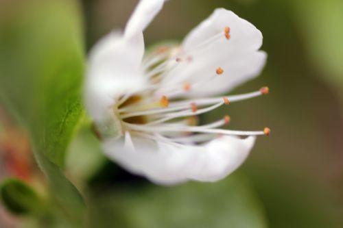 prunus salicina romi 20 avril 2013 128 (4).jpg