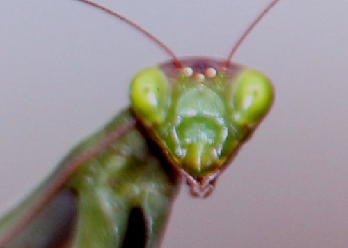 mantis tête romi 30 oct 2013 020.jpg