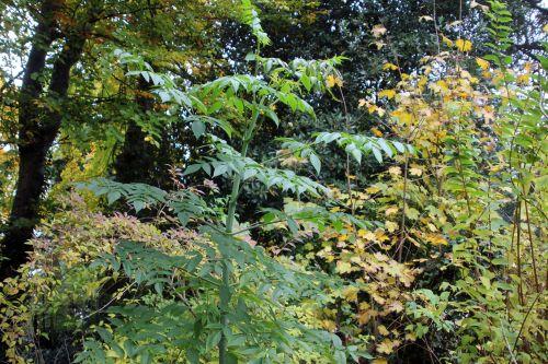 3 dahlia arborea veneux 11 nov 2012 002.jpg