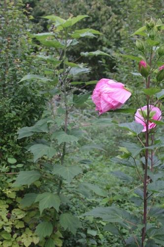 4 hibiscus moy grande romi 6 sept 2015 043 (2).jpg