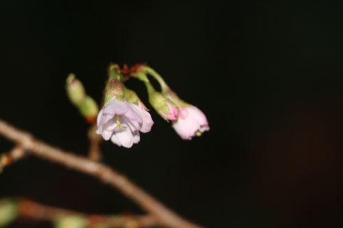 c prunus subhirtella veneux 26 déc 2013 017 (3).jpg