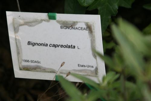 3 bignonia marnay 18 sept  2010 038.jpg