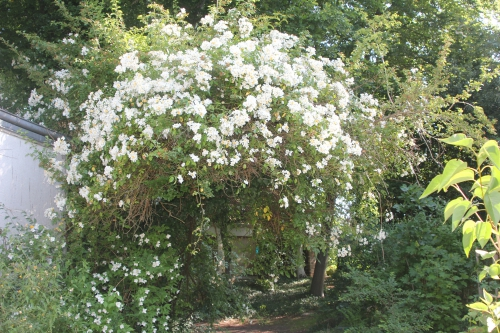 4 rosa mulliganii veneux 10 juin 2015 005.jpg