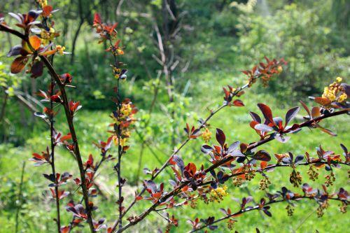 berberis ottawensis romi 11 avril 2014 084 (3).jpg
