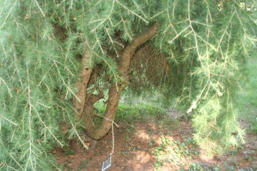 6 cedrus deo pend arbofolia 9 oct  2010 093.jpg