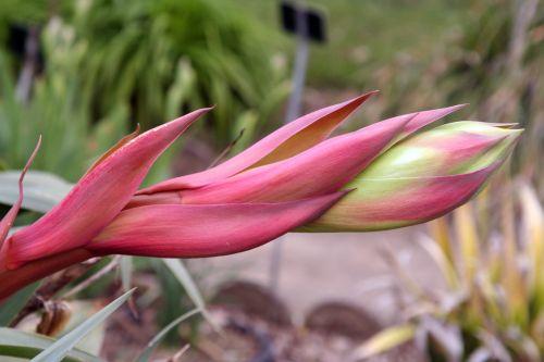 2 beschorneria yuccoides 9 avril 108.jpg