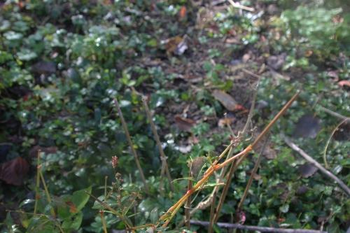 persicaria romi 22 nov 2014 043.jpg