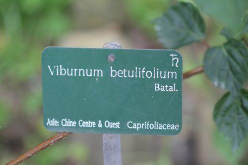 6 viburnum betulifolium paris 23 juin 2012 379.jpg