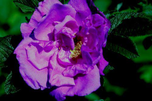 roseraie romi 7 juin 018.jpg