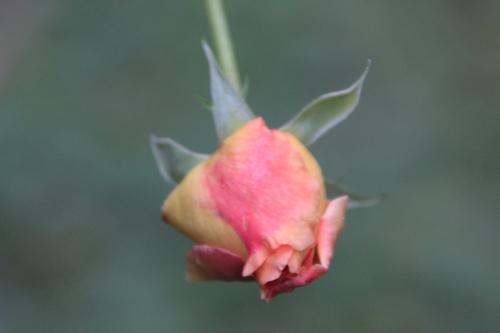rosa leander bout romi 11 oct 2015 011.jpg