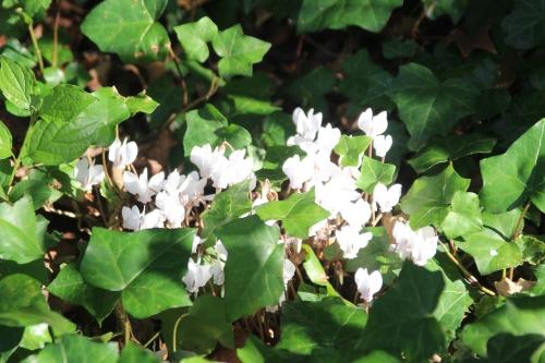 7 cyclamen hederifolium veneux 23 sept 2016 009.jpg